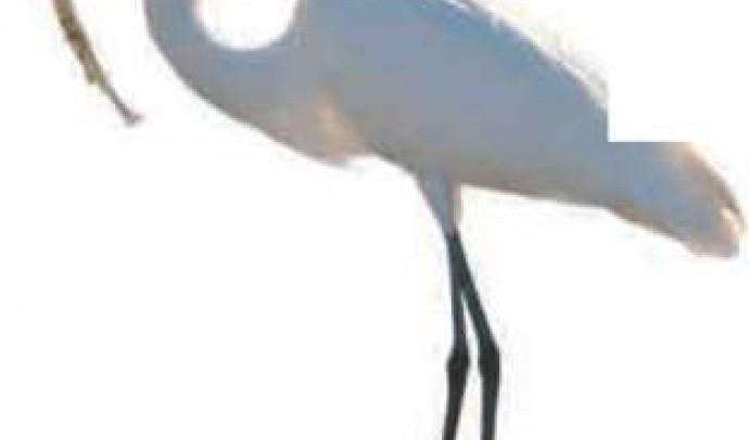 Велика біла чапля (Чепура велика)