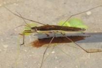 Водомірки – родина комах (Cerridae)