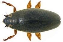 Вертячки – родина жуків (Cyrinidae)