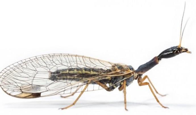 Веслокрилі (Raphidioptera)