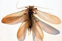 Веснянки (Plecoptera)