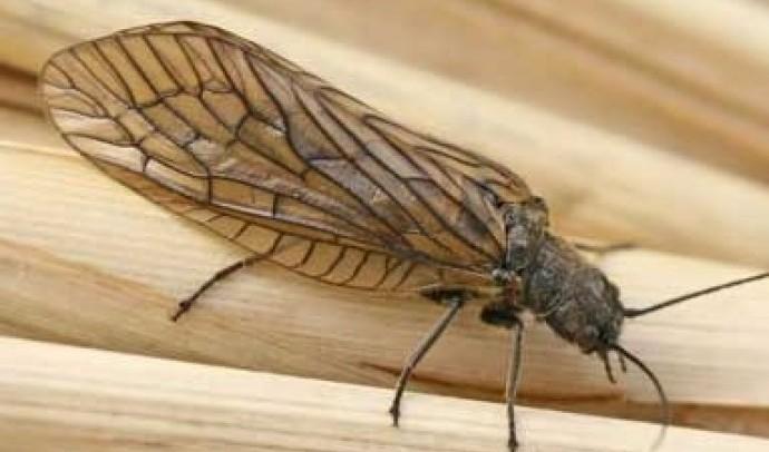 Вислокрилки, або сіаліди (Sialidae)
