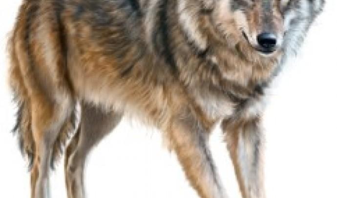 Вовк у світогляді українців