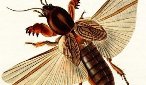 Вовчок звичайний, або капустянка (Gryllotalpa gryllotalpa)