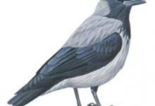 Ворона сіра