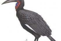Ворон рогатий абіссинський (Bucorvus abyssinicus)