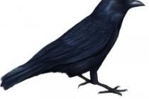 Ворон та ворона у світогляді українців
