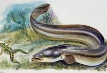 Вугрові, або прісноводні вугри – родина риб (Anguillidae)