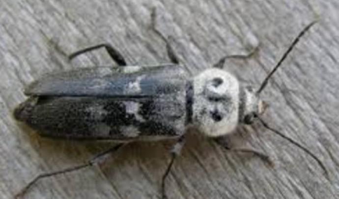 Вусачі – родина комах (Cerambycidae)