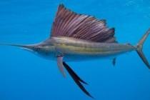 Вітрильник індо-тихоокеанський, або риба-вітрильник (Istiophorus platypterus)