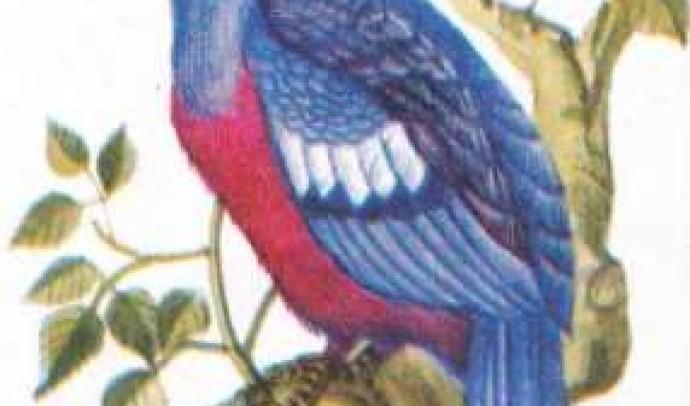 Віцлоносний голуб