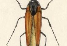 Віялоносці, або віяльники – родина комах (Rhipiphoridae)