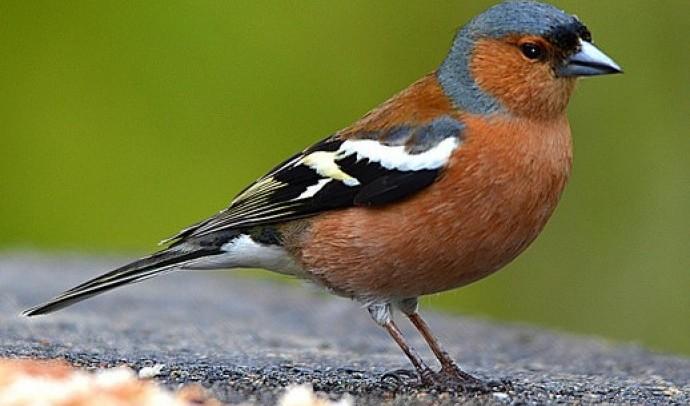 В'юркові – родина птахів (Fringillidae)