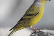 В'юрок лимонний (Serinus citrinella)