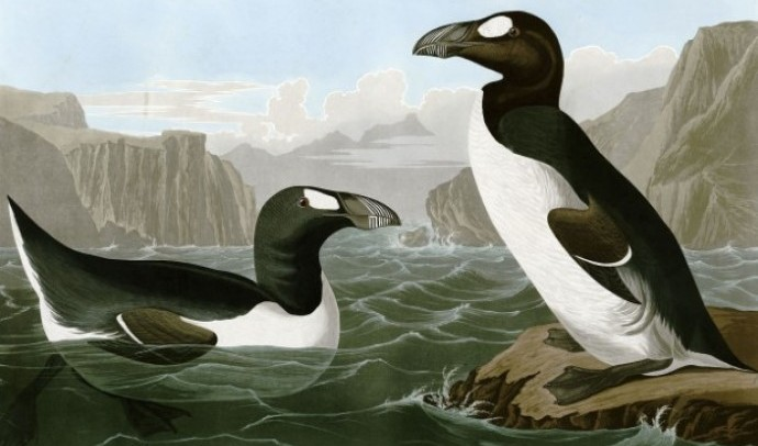 Гагарка безкрила (Pinguinus impennis)