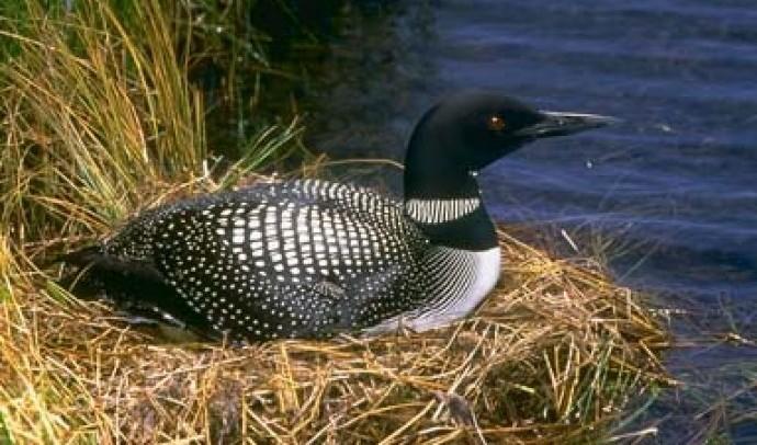 Гагарові – родина птахів (Gaviidae)