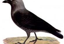 Галка звичайна (Corvus monedula)