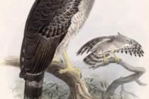 Гарпія гвіанська, або гарпія довгохвоста (Morphnus guianensis)