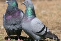 Голуби – родина птахів (Columbidae)