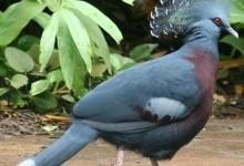 Голуб віялоносний Вікторії (Goura victoria)