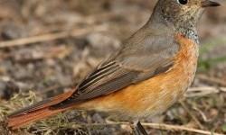 Горихвістка звичайна (Phoenicurus phoenicurus)