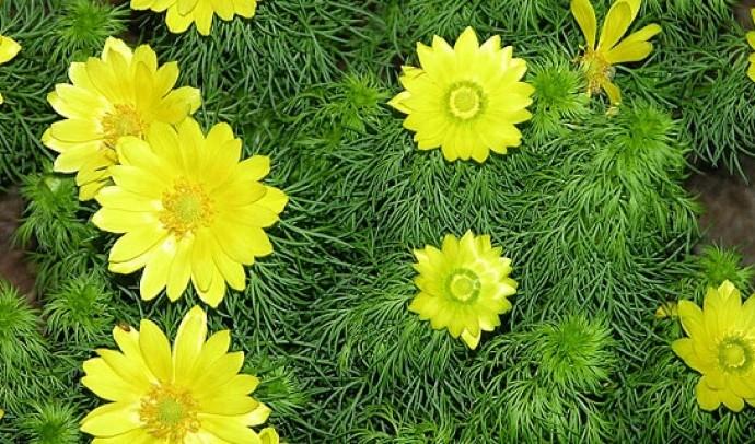 Горицвіт весняний (Адоніс)