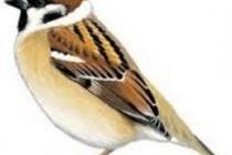Горобець польовий (Passer montanus)