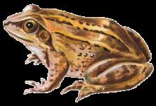 Гостроморда жаба