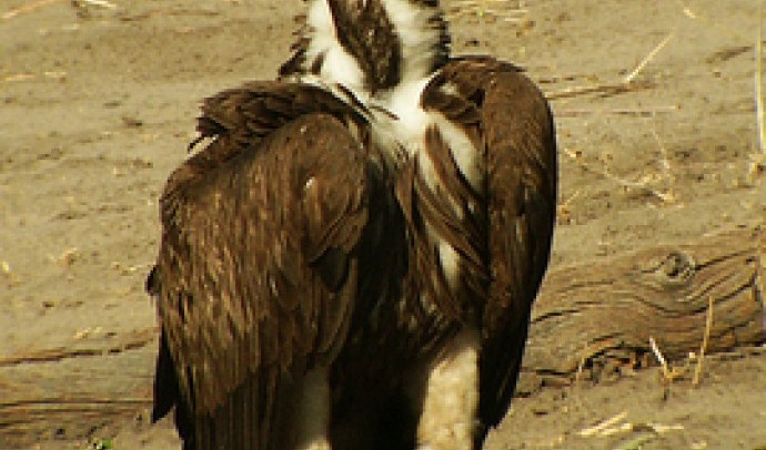 Гриф вухатий африканський (Torgos tracheliotus)