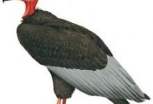 Гриф вухатий індійський (Sarcogyps calvus)