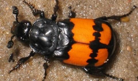 Жуки-могильники – рід комах (Nicrophorus)