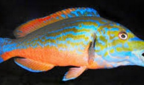 Губань-зозуля (Labrus mixtus)