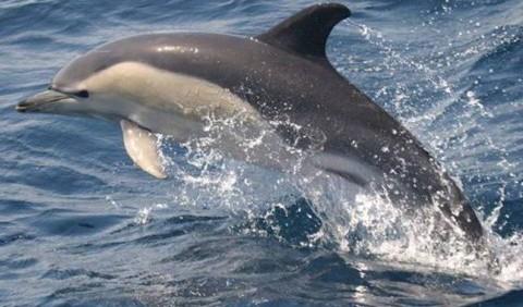 Дельфін-білобочка