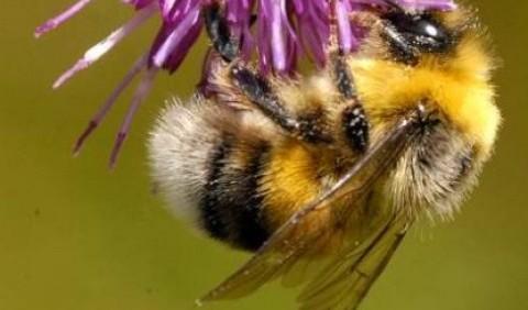 Джмелі – рід комах (Bombus)