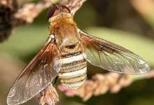 Дзижчалки, або мухи-дзижчелки – родина комах (Bombyliidae)