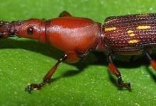 Довготіли – родина комах (Brenthidae)