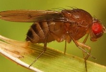 Дрозофіли, або плодові мушки – родина комах (Drosophilidae)