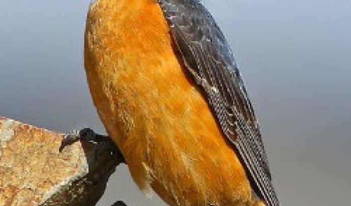 Дрізд кам'яний строкатий (Monticola saxatilis)