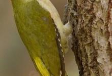 Дятел зелений (Picus viridis)