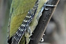 Дятел сивий (Picus canus)