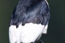 Дятел червоноголовий (Melanerpes erythrocephalus)
