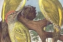 Дятлові – родина птахів (Picidae)