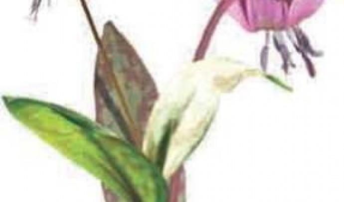 Еритроній собачий зуб