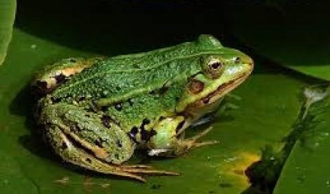 Жаба озерна