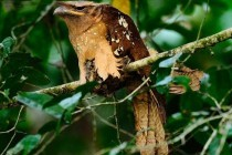 Жаборот вухатий, або білоніг вухатий (Batrachostomus auritus)