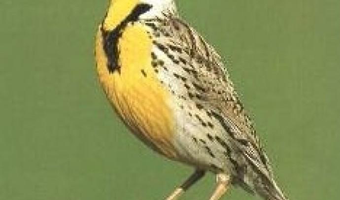 Жайворонкові – родина птахів (Alaudidae)
