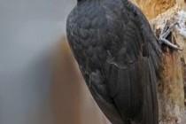 Жовна чорна, або дятел чорний (Dryocopus martius)