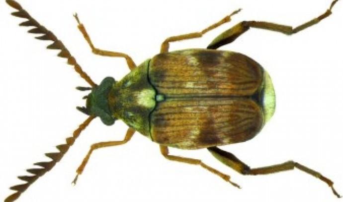Жук бомбардир (Brachinidae)