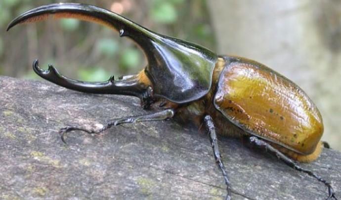 Жук-геркулес (Dynastes hercules)