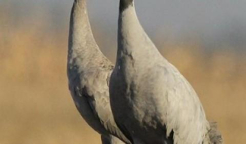 Журавель сірий (Grus grus)